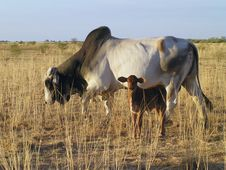 Free Mother & Baby Cow Stock Photo - 6725760