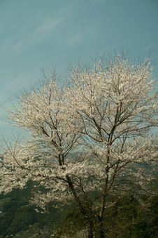 Free Mountain Cherry Blossom Tree Stock Photography - 6726792