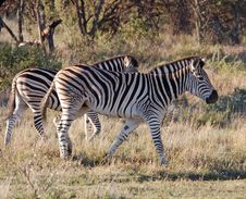 Free Burchell S Zebra (Equus Quagga Burchelli) Stock Photos - 6728273
