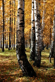 Autumn Birch And Larch Trees Royalty Free Stock Photography
