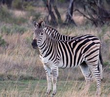 Free Zebra, South Africa Royalty Free Stock Images - 6728769
