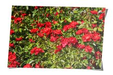 Free Rose Field Card Stock Photo - 6728860