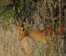 Free Impala: Aepyceros Melampus Royalty Free Stock Photography - 6728897