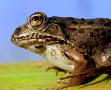 Free Frog Eyes Royalty Free Stock Images - 6729049