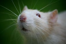 Free Rat Stock Photos - 6729133