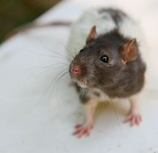 Free Rat Stock Photo - 6729600