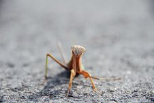 Free Mantis Royalty Free Stock Photography - 6729987