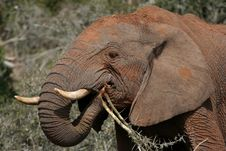 Free African Elephant Eating Royalty Free Stock Photo - 6731785