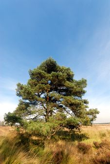 Free Pine Tree Stock Photo - 6732770
