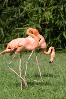 Free Pink Flamingo Royalty Free Stock Photos - 6733118