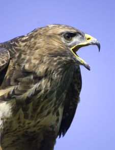 Free Buzzard Stock Images - 6733194
