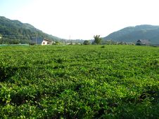 Free Tea Plantation Royalty Free Stock Photo - 6733495