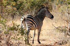 Free Zebra Royalty Free Stock Photo - 6733875