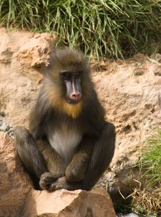 Free Mandrill Royalty Free Stock Images - 6733959