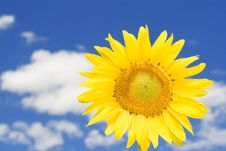 Free Sunflower And Blue Sky Background Stock Photo - 6736300