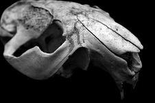 Free Skull Animal Closeup Stock Photo - 6738220