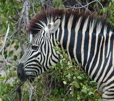 Free Burchell S Zebra (Equus Quagga Burchelli) Stock Photo - 6738990
