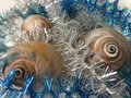 Free Neverita Duplicata &x28;Shark Eye&x29; Sea Snail Shells Between Christmas Tinsel. Royalty Free Stock Image - 67311346