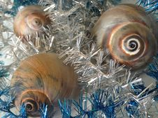 Neverita Duplicata &x28;Shark Eye&x29; Sea Snail Shells Between Christmas Tinsel.