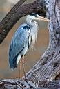 Free Grey Heron On Tree Stock Photos - 6745293