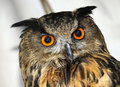 Free Great Horned Owl Royalty Free Stock Photos - 6746518