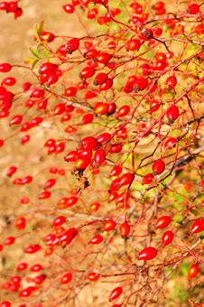 Wiil Rose Hip Royalty Free Stock Images