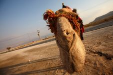 Free Camel Royalty Free Stock Photography - 6740657