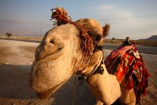 Free Camel Royalty Free Stock Photo - 6740905