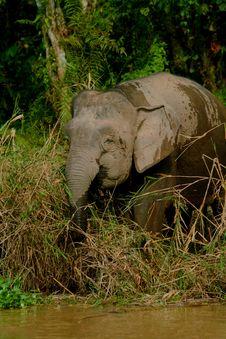 Free Pygmy Elephant 2 Stock Images - 6741264