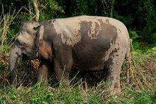 Free Pygmy Elephant 2 Stock Image - 6741281