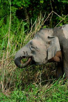Free Pygmy Elephant 6 Royalty Free Stock Image - 6741336