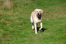 Labrador Puppy Royalty Free Stock Photo