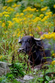 Buffalo Potrait Royalty Free Stock Photo