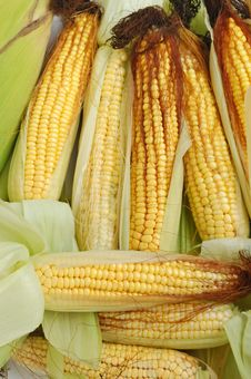 Free Fresh Corn On The Cob Royalty Free Stock Photography - 6743237