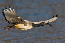 Free African Sacred Ibis Royalty Free Stock Photos - 6743808