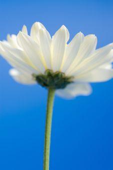 Free White Daisy In The Sky Royalty Free Stock Photos - 6744338