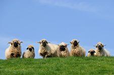 Free Rasta Sheep Audience Royalty Free Stock Photo - 6744855