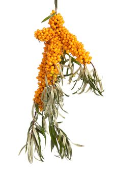 Free Sea-buckthorn. Stock Image - 6745321