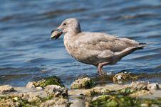 Free Seagull Stock Photos - 6745753