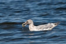 Free Seagull With Clam Stock Images - 6745774