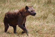Free Bloody Hyena Walking In Safari Royalty Free Stock Image - 6746736