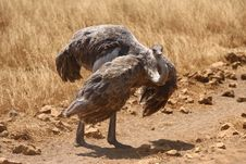Female Ostrich Standing On The Road Stock Image