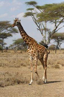 Free Giraffe Walking In Africa Savanna Stock Photos - 6746823