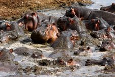 Many Hippos Fighting With Each Other In Water Royalty Free Stock Photos
