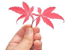 Free Red Leaves In Hand Royalty Free Stock Photo - 6748165