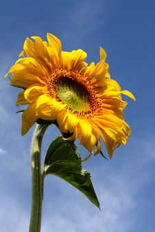 Free Sunflower Under Blue Sky Stock Photos - 6748513