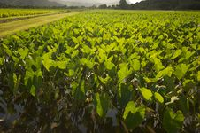 Free Hanalei Valley And Taro Fields Royalty Free Stock Photo - 6749305