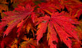 Free Red  Autumn Leaves Stock Image - 6753241