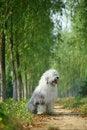 Free English Old Sheepdog Stock Photo - 6753290