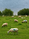 Free Grazing Irish Sheep Stock Photos - 6755343